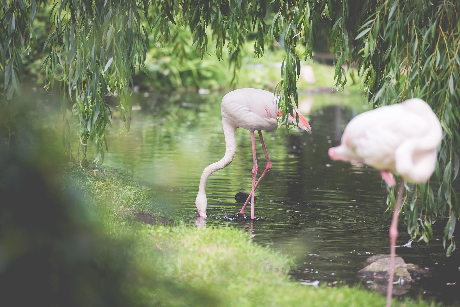 flamingi zoo wroclaw