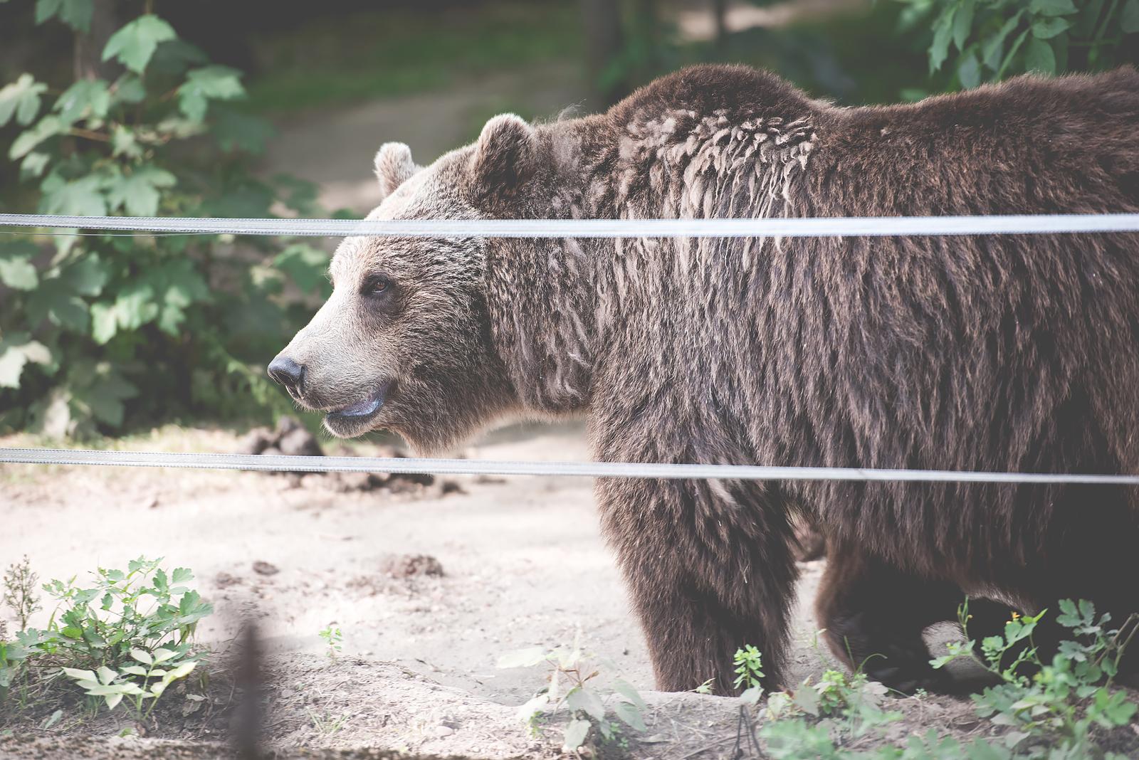 niedzwiedz zoo wroclaw