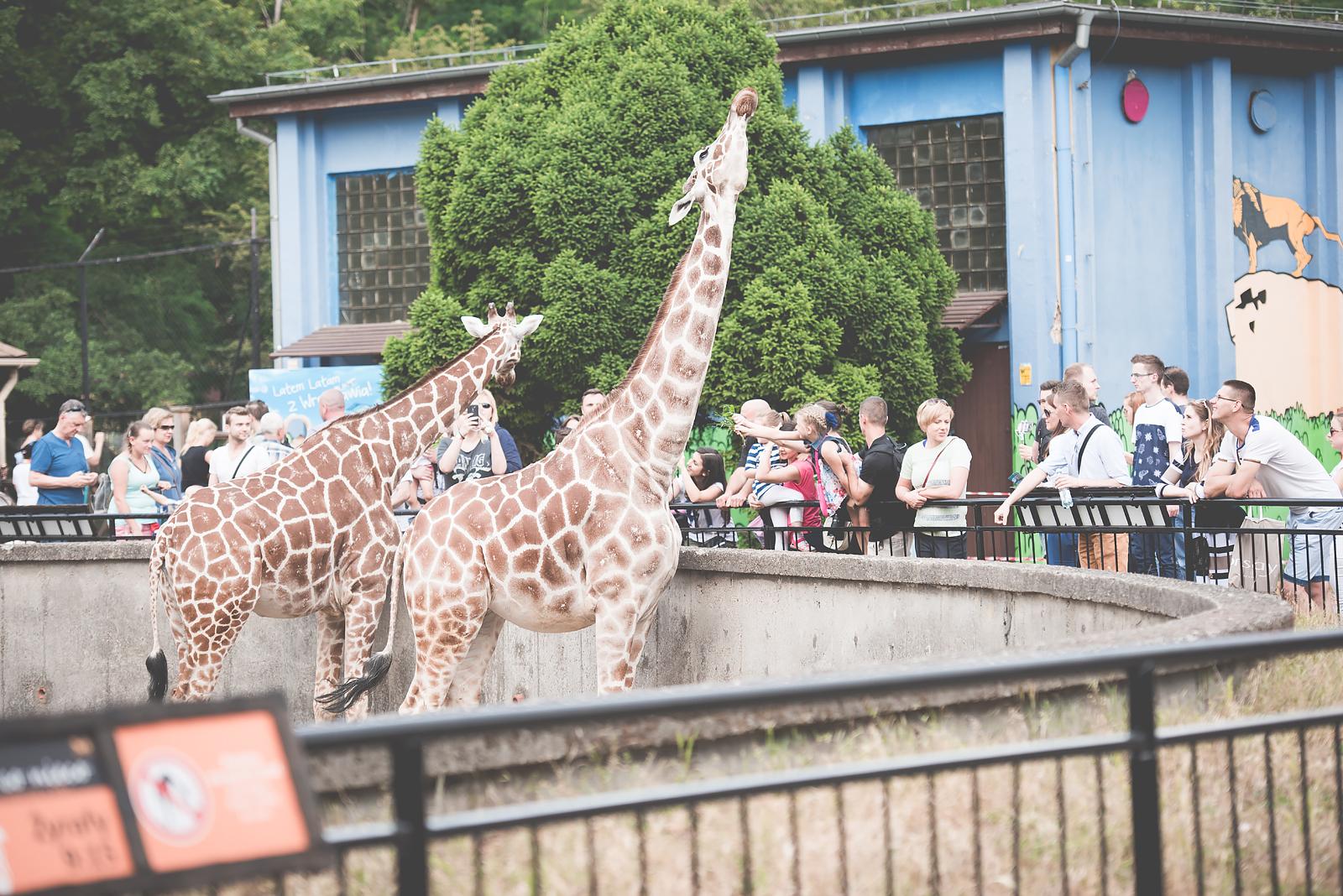 zoo wroclaw zyrafa